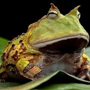 Lord_Frog
